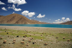 Sheep grazing in Himalaya near lake Royalty Free Stock Image