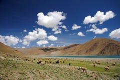 Sheep grazing in Himalaya near lake royalty free stock photography