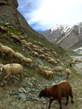 Sheep grazing in the Himalayas Royalty Free Stock Photos
