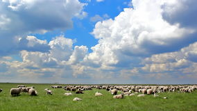 Sheep grazing stock video footage