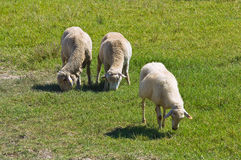 Sheep grazing. Royalty Free Stock Photo