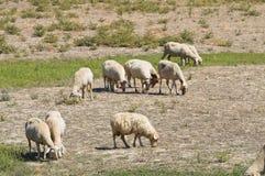 Sheep grazing. Stock Image
