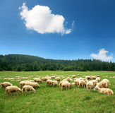 Sheep Grazing In A Farm. Royalty Free Stock Image