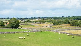 Sheep Grazing in Ireland royalty free stock photo