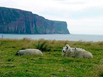 Sheep on the Isle of Hoy Stock Photos
