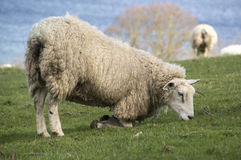 Sheep grazing by kneeling down Royalty Free Stock Image
