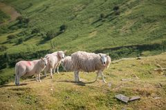 Sheep grazing in Summer landscape in Brecon Beacons National Par. Sheep grazing in landscape in Brecon Beacons National Park Royalty Free Stock Image