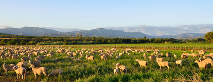 Sheep grazing in late afternoon sun near Oudtshoorn. Sheep graze in late afternoon sun with mountains in the background in the Little Karoo region of South royalty free stock photo