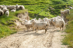 Sheep grazing and looking back on farm track Stock Image