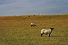 Sheep grazing on a lovely green pasture Stock Image