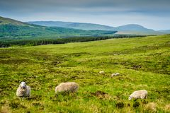 Sheep Near Glen Brittle Royalty Free Stock Photo