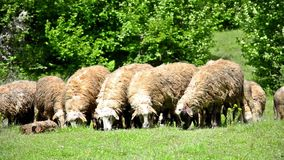 Sheep grazing on lush grass stock video