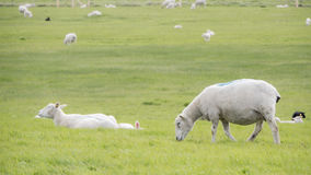 Sheep grazing in a lush green field Royalty Free Stock Images
