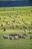 Sheep grazing on lush green pasture. View of Sheep grazing on lush green pasture, on the east coast of Tasmania, Australia Royalty Free Stock Photos
