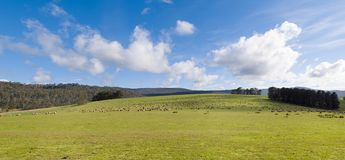 Sheep grazing on lush green pasture. View of Sheep grazing on lush green pasture, on the east coast of Tasmania, Australia Stock Image