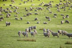 Sheep grazing on lush green pasture. View of Sheep grazing on lush green pasture, on the east coast of Tasmania, Australia Stock Photo