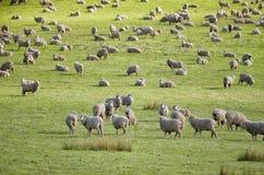 Sheep grazing on lush green pasture stock photo