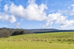 Sheep grazing on lush green pasture. View of Sheep grazing on lush green pasture, on the east coast of Tasmania, Australia Stock Photos