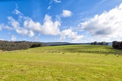 Sheep grazing on lush green pasture. View of Sheep grazing on lush green pasture, on the east coast of Tasmania, Australia Royalty Free Stock Photography