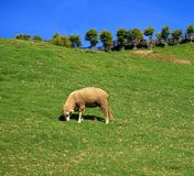 Sheep Grazing on Lush Pasture Royalty Free Stock Images
