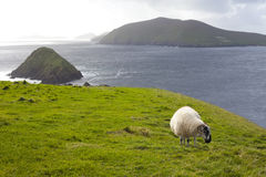 Sheep grazing on meadow Royalty Free Stock Photo