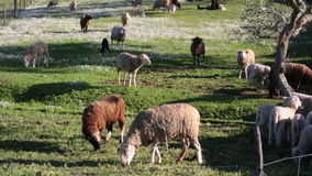 Sheep grazing on meadow Stock Photography