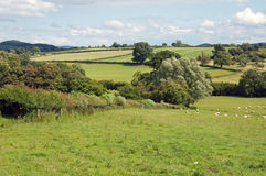 Sheep grazing in a meadow in the British countryside. A summertime meadow in the English countryside Royalty Free Stock Image