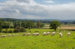Sheep grazing in a meadow in the British countryside. A summertime meadow in the English countryside Stock Image