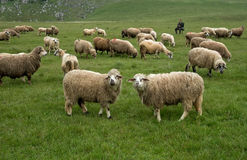Sheep grazing on a meadow Royalty Free Stock Photos