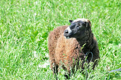 Sheep grazing in the meadow Royalty Free Stock Images
