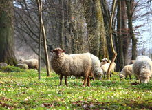 Sheep grazing on a  meadow Stock Photography