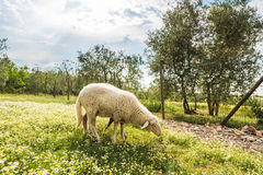 Sheep grazing on the meadow in front of the house. Stock Image