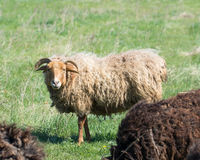 Sheep grazing on a meadow Stock Photos