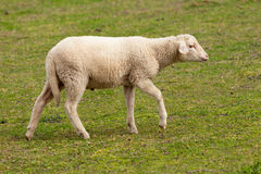 Sheep grazing in the meadow with green grass Royalty Free Stock Photos