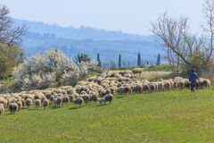 Sheep grazing in the meadow Stock Photo