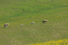 Sheep grazing in the meadow Royalty Free Stock Photo