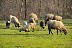 Sheep grazing on meadow Stock Photo