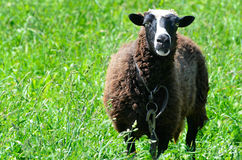 Sheep grazing in a meadow looking into the camera lens Royalty Free Stock Photography