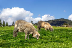 Sheep grazing in a meadow. With lush green grass Stock Images