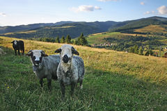 Sheep grazing in a meadow in the mountains. Royalty Free Stock Photos