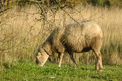 Sheep grazing. In a meadow near the reeds Royalty Free Stock Photo