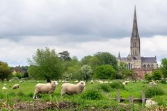 Sheep grazing in the meadow with Salisbury Cathedral on the background stock images