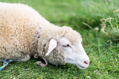 Sheep grazing in the meadow Stock Photography