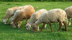 Sheep grazing in a meadow Stock Photos