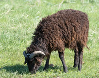 Sheep grazing on a meadow Royalty Free Stock Image