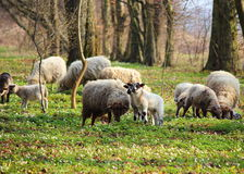 Sheep grazing on a  meadow Royalty Free Stock Photography