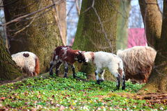 Sheep grazing on a  meadow Royalty Free Stock Photo