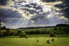 Sheep grazing the meadow Stock Image