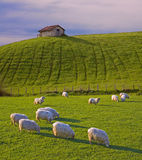 Sheep grazing in the meadows Stock Images