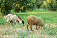 The sheep are grazing in the meadows. Royalty Free Stock Images